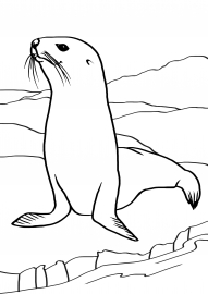 Морской котик. Картинка-раскраска — скачать и распечатать ...