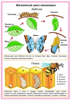 Жизненный цикл насекомых (бабочки и пчелы)
