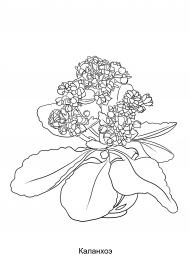 Растение Каланхоэ. Раскраска для детей — скачать и ...