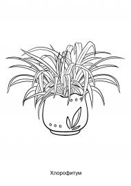 Хлорофитум. Раскраска — скачать и распечатать. Растения ...