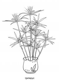 Циперус. Картинка - раскраска комнатного растения ...