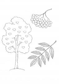Рябина: дерево, листья, плоды рябины — скачать и ...