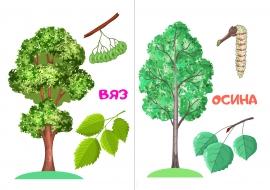 дерево вяз фото листьев