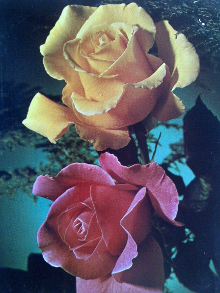 «Роза— царица цветов»— коллекция открыток