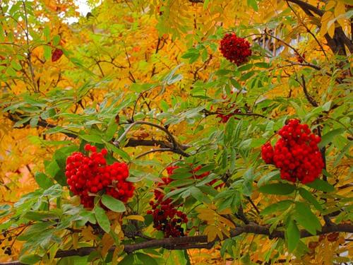 Рябина осень