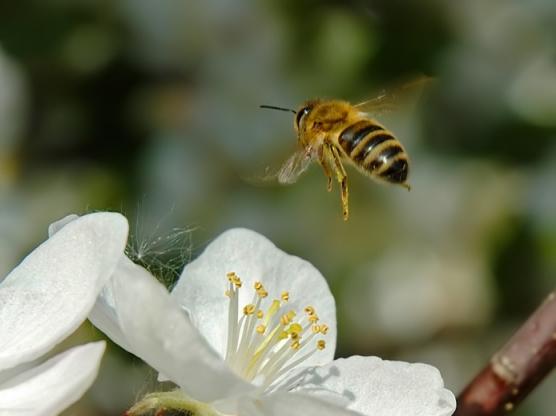 НОД по развитию познавательно-речевой деятельности в подготовительной группе «Сбережем пчелу — сохраним планету» (1 часть)