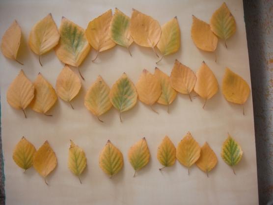 Мастер-класс «Розы из березовых листьев»