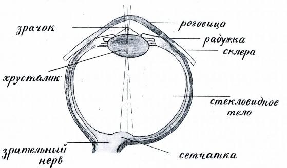 Конспект занятия: «Глаза— наши помощники», для старшей группы