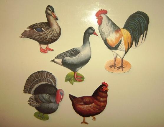 картинки для детей птицы домашние