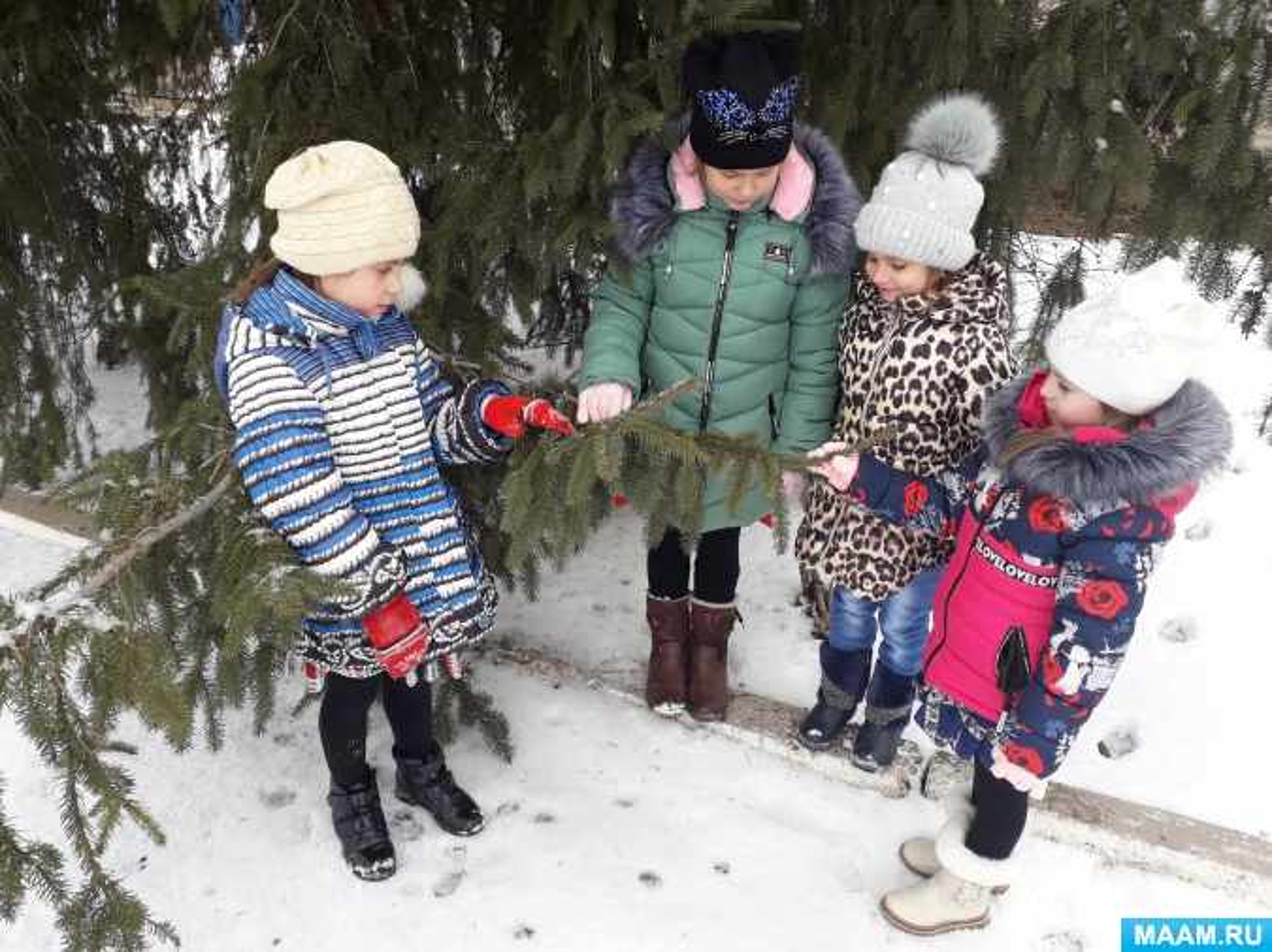 Конспект прогулки в старшей группе детского сада «Наблюдение за елью на участке»