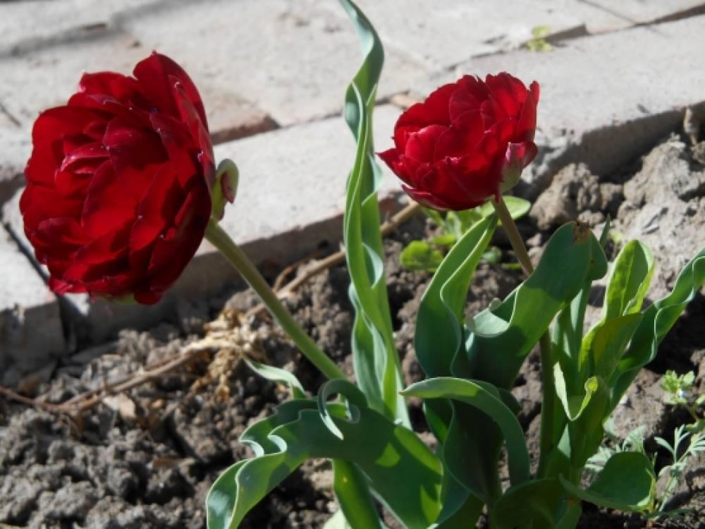 Весеннее цветение на наших участках