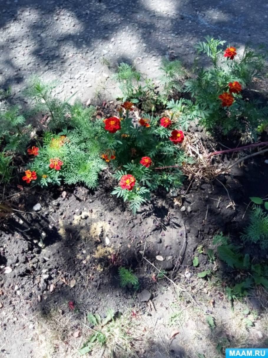 Конспект прогулки-наблюдения «Летнее разноцветье наших садовских клумб» в старшей группе детей с ЗПР