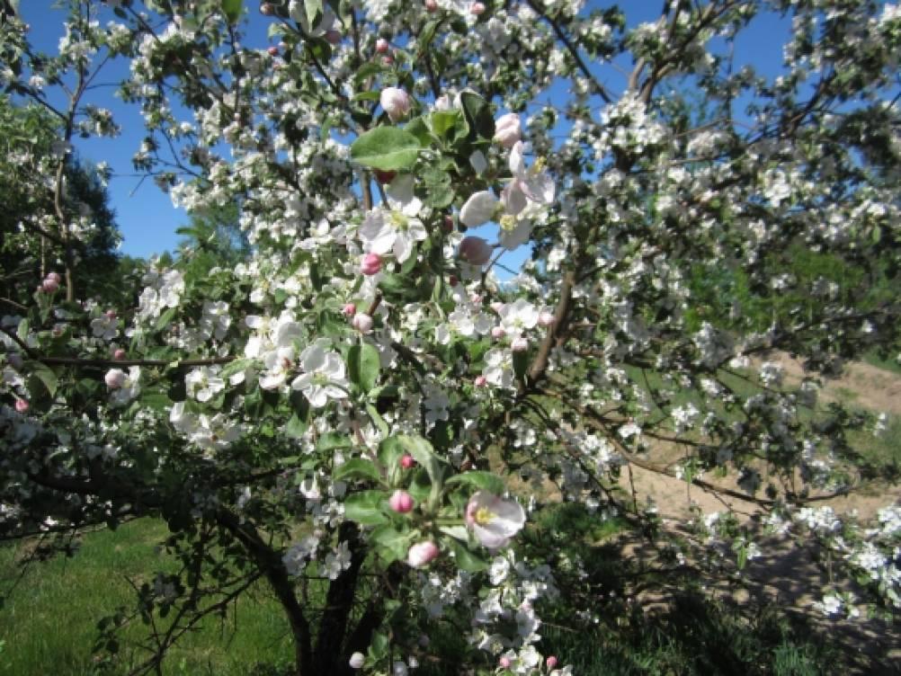 под знаком яблони родились