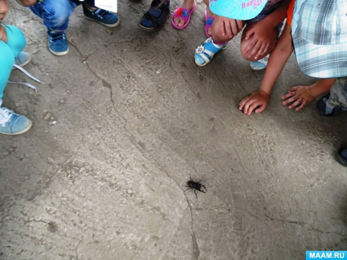 Наблюдения за жуком-оленем (фотоотчет)
