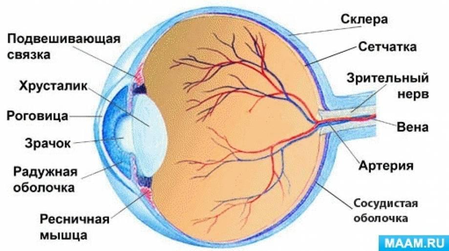Конспект НОД «Органы зрения— глаза» в подготовительной к школе группе