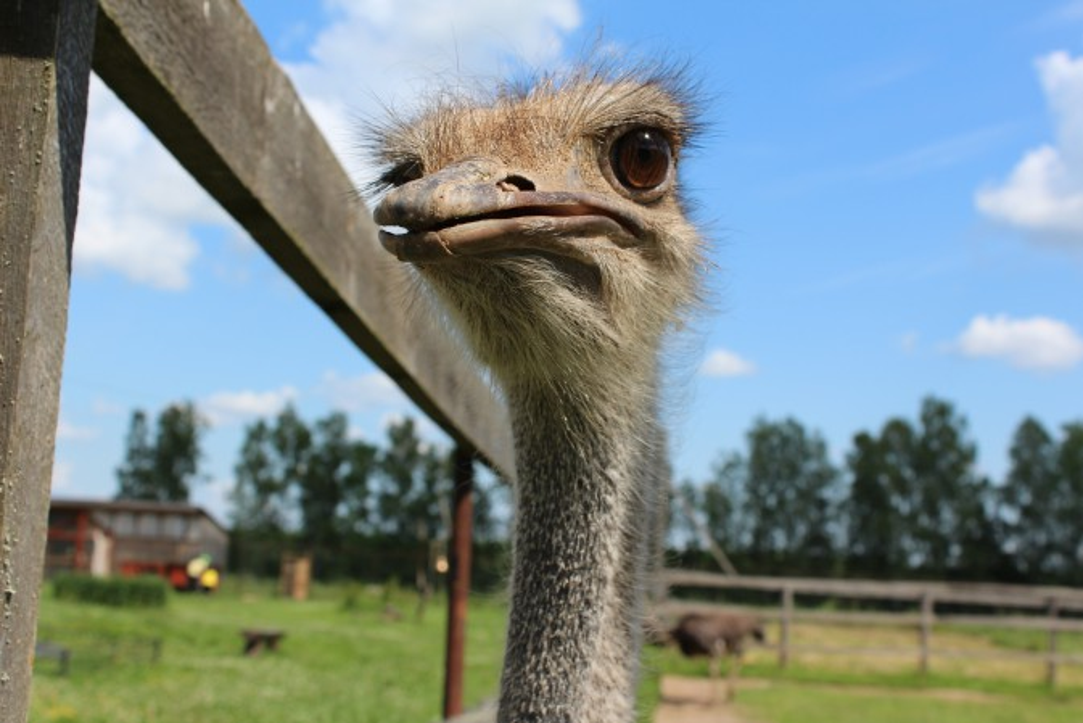 Реферат на тему страусиная ферма 8338