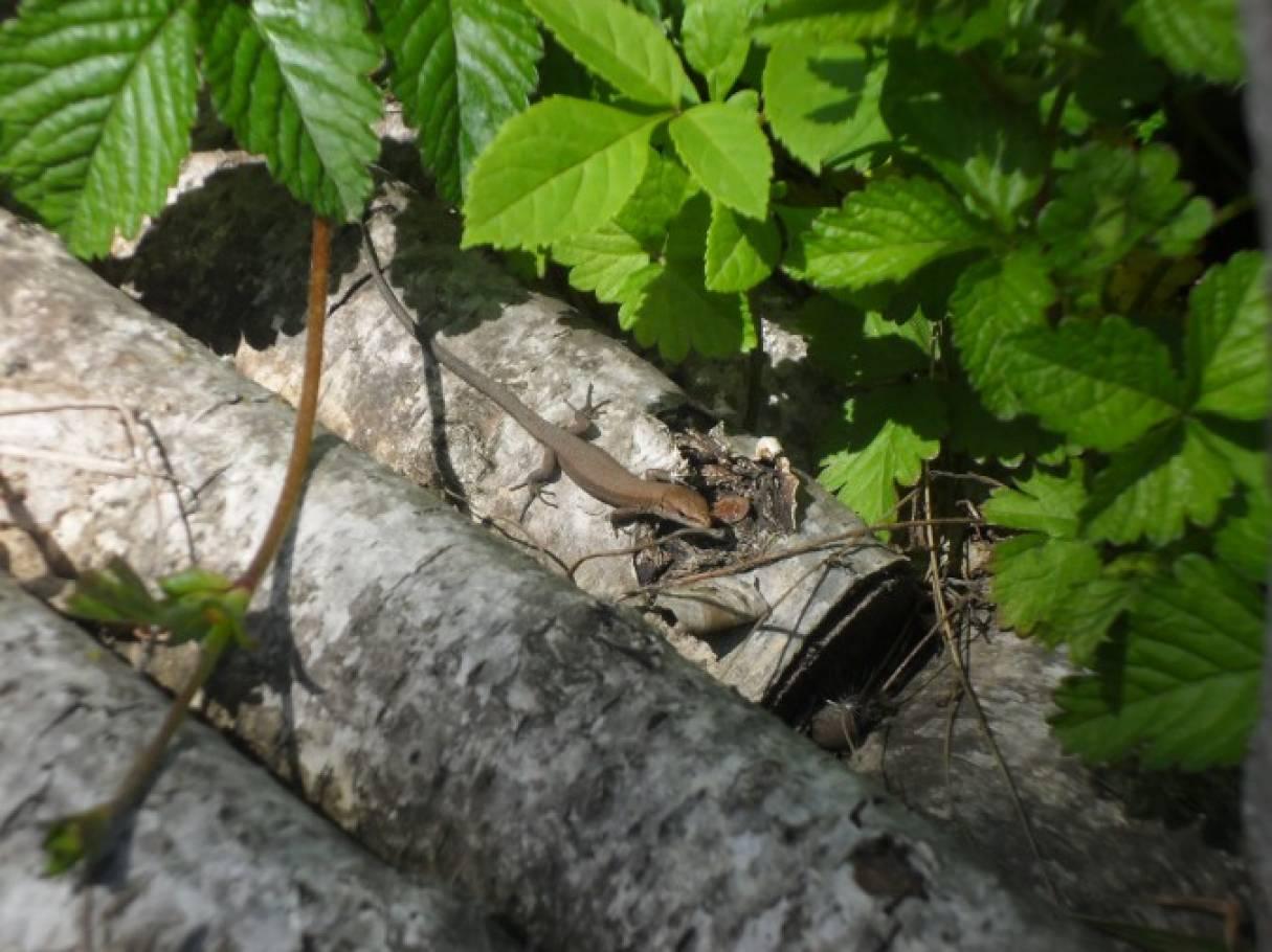 Весенние наблюдения за ящерицами