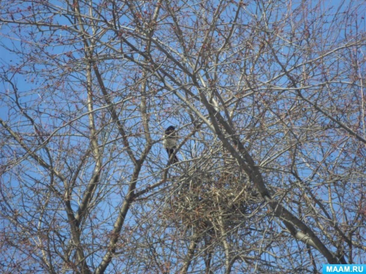 Фотоотчет о наблюдениях весной «Сороки строят гнездо»