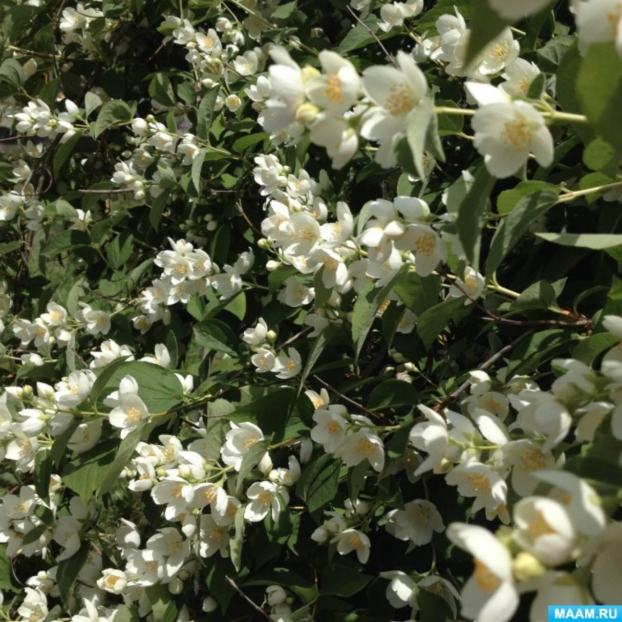 Наблюдение в природе «Белоснежное чудо лета— чубушник (садовый жасмин)»