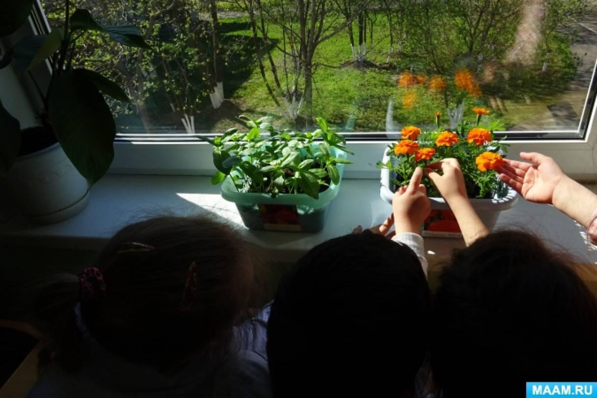 Фотоотчёт о проведении исследовательской деятельности по выращиванию рассады бархатцев