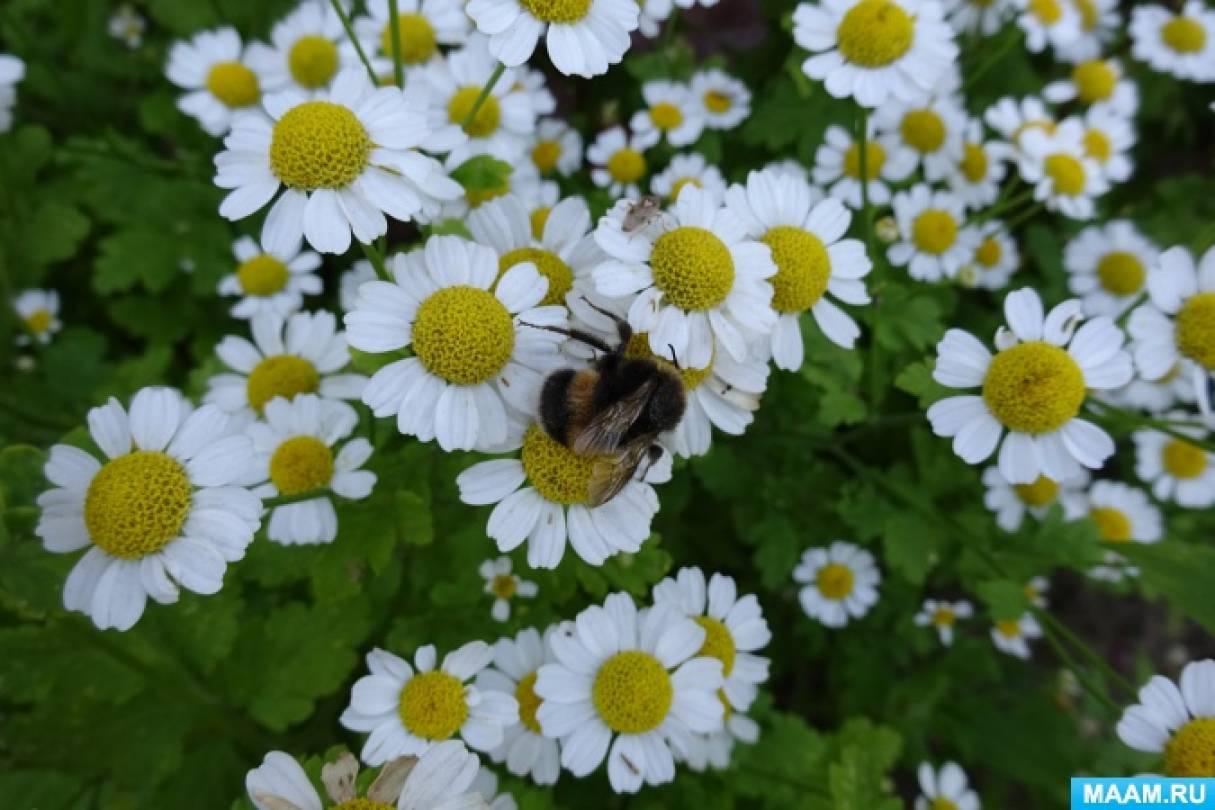 Наблюдения на прогулке за жалящими насекомыми— пчёлами, шмелями и осами