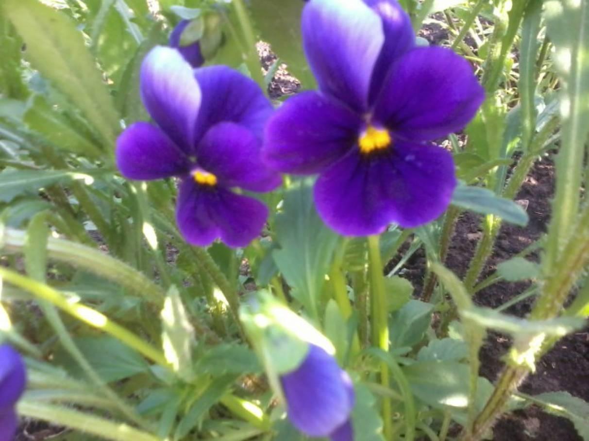 А это мои самые любимые цветы ромашки