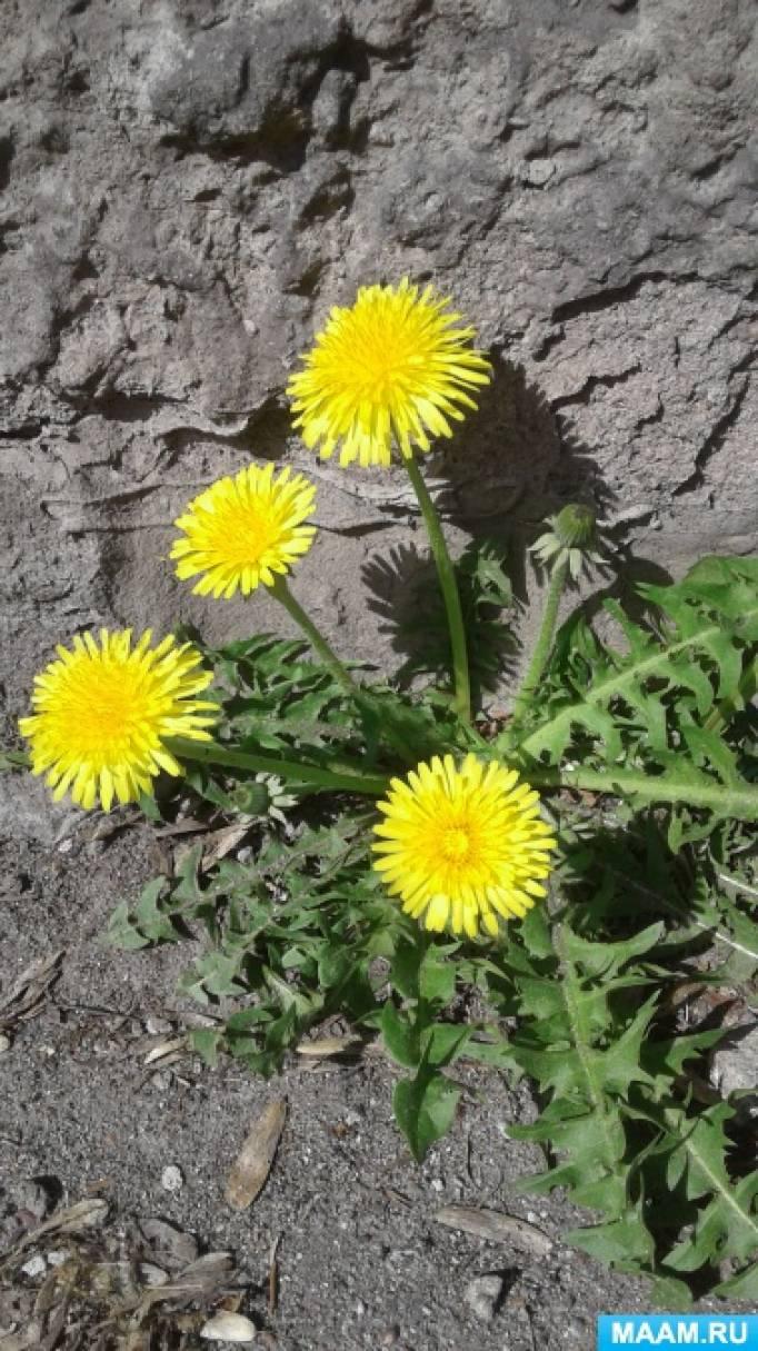 Фотоотчет «Экологический проект «Первоцветы»