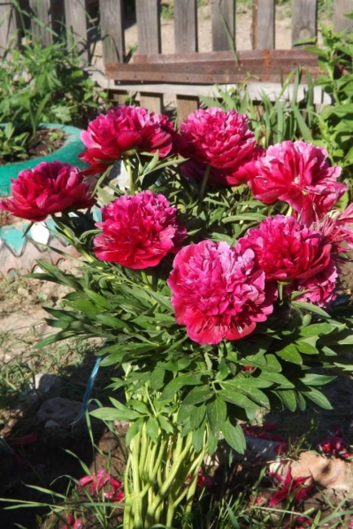 Цветы пионы самые красивые картинки - 614b5