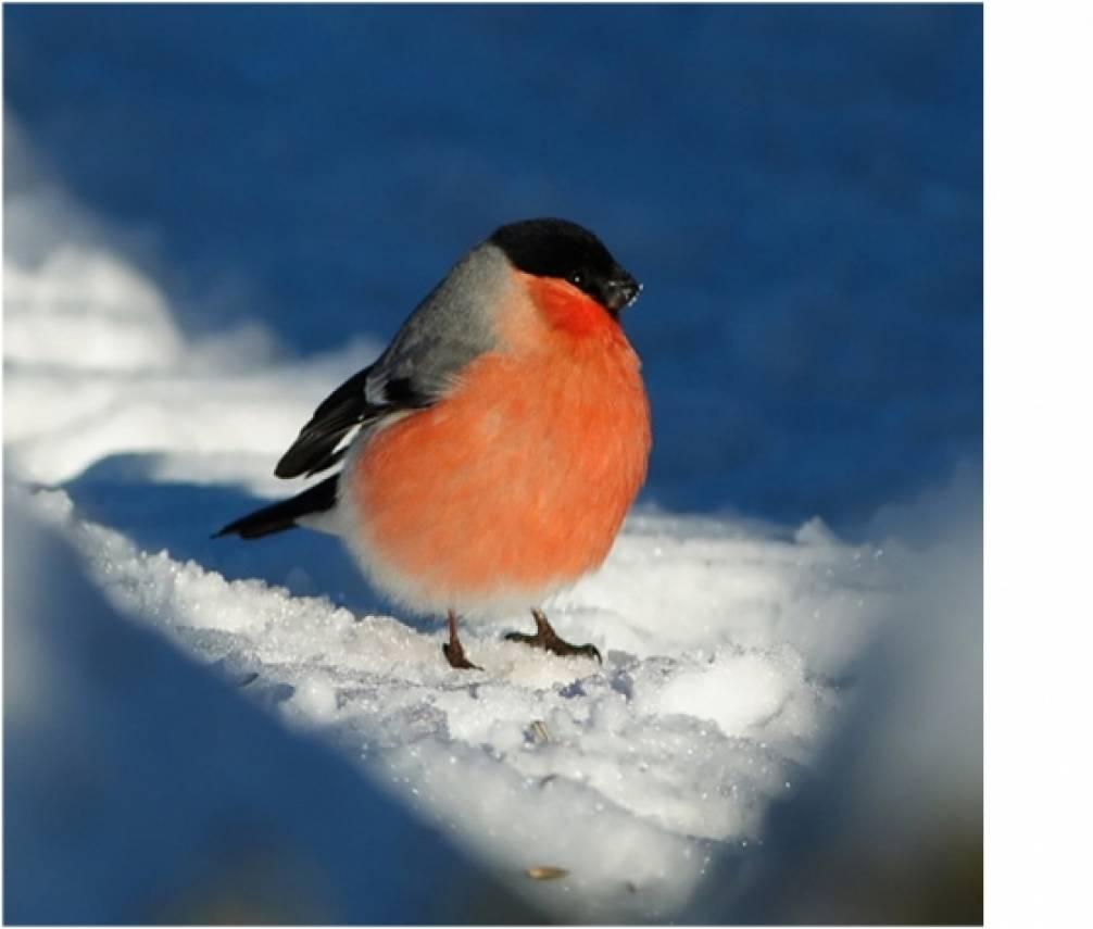 Комплексное занятие по экологии во 2 мл. гр. «Рассматривание снегиря». Образовательная область: «познавательное развитие».