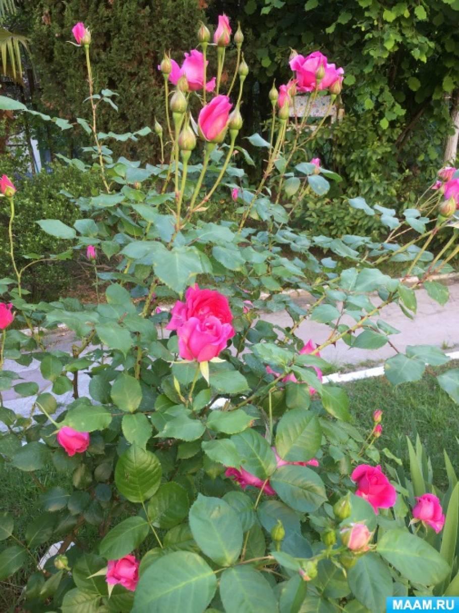 Сравнительное наблюдение с детьми подготовительной группы за розами и шиповником