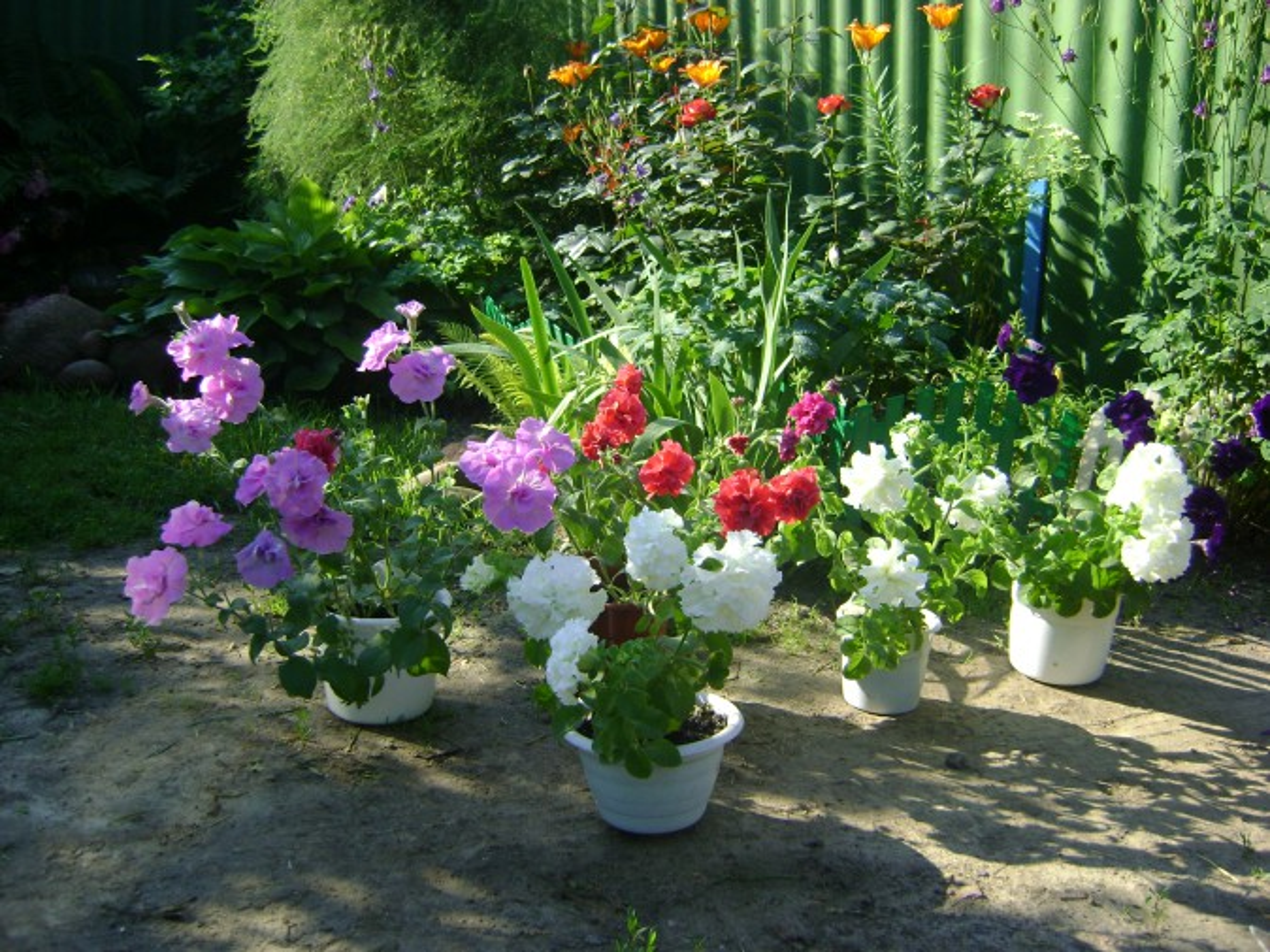 Советы профессионалов по выращиванию петуний 78