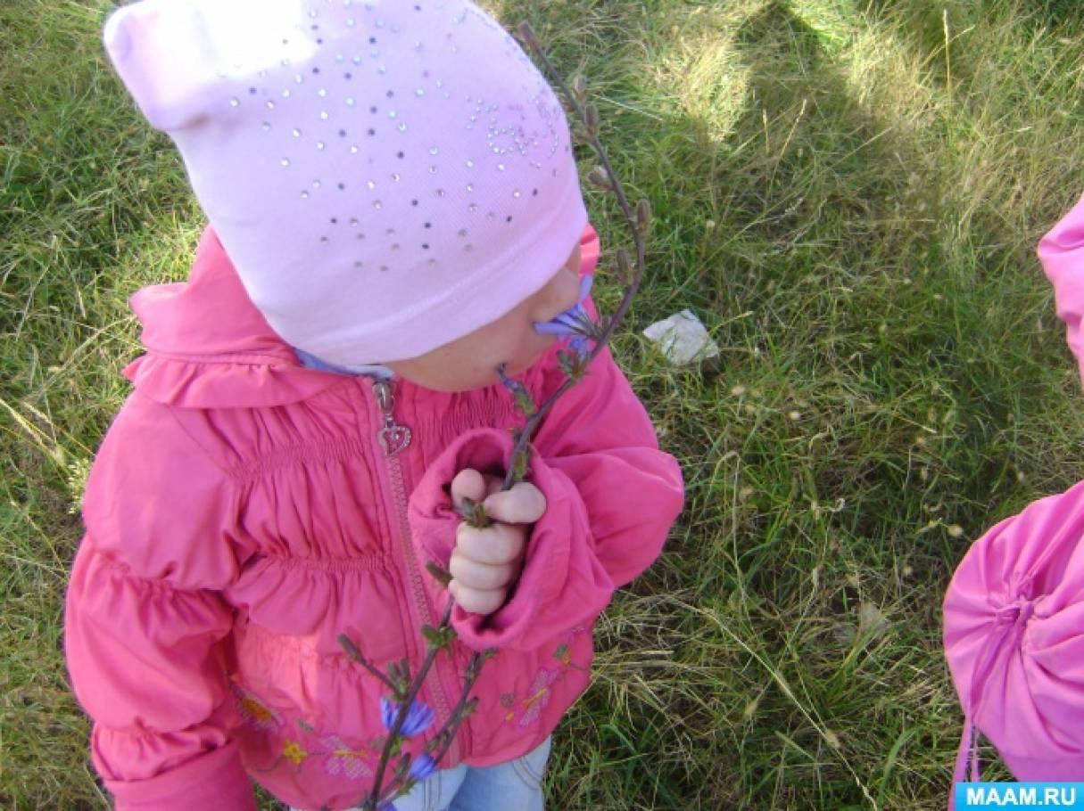 Конспект познавательной прогулки «Наблюдения за лекарственным растением цикорием»