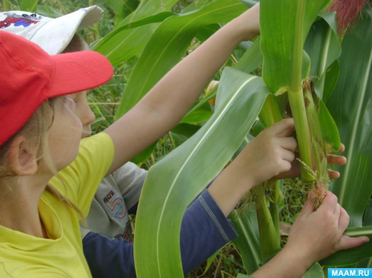 Конспект познавательной прогулки с целью формирования экологических знаний «Королева полей— кукуруза»