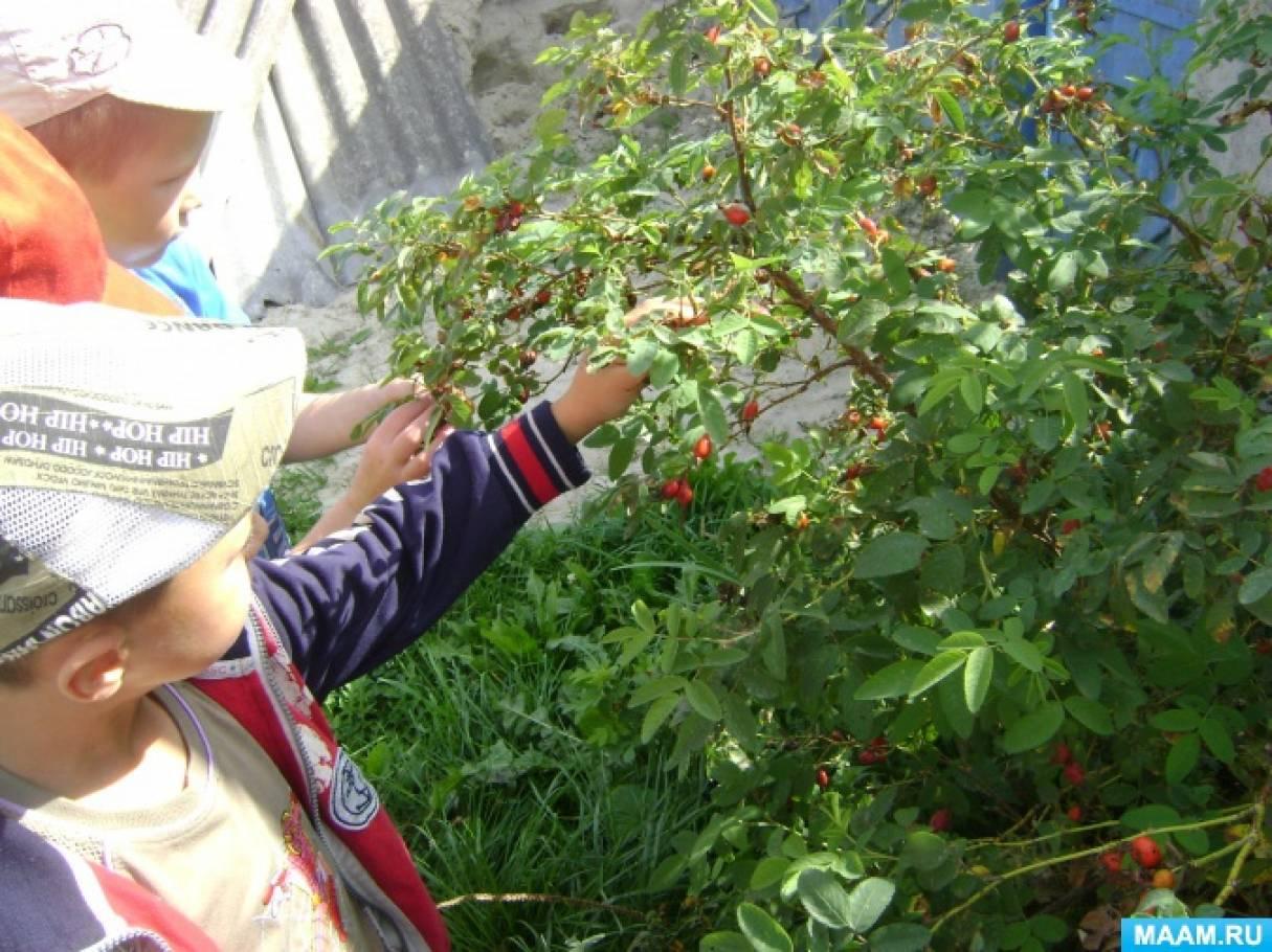 Конспект познавательной прогулки с целью формирования экологических знаний «Наблюдение за лекарственным растением шиповником»