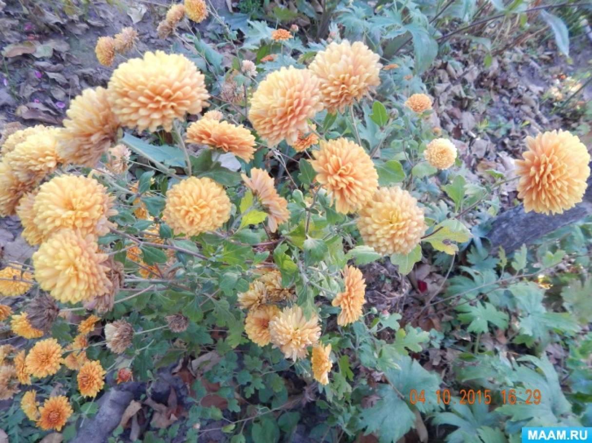 Конспект познавательной прогулки с целью формирования экологических знаний «Наблюдение за хризантемой»