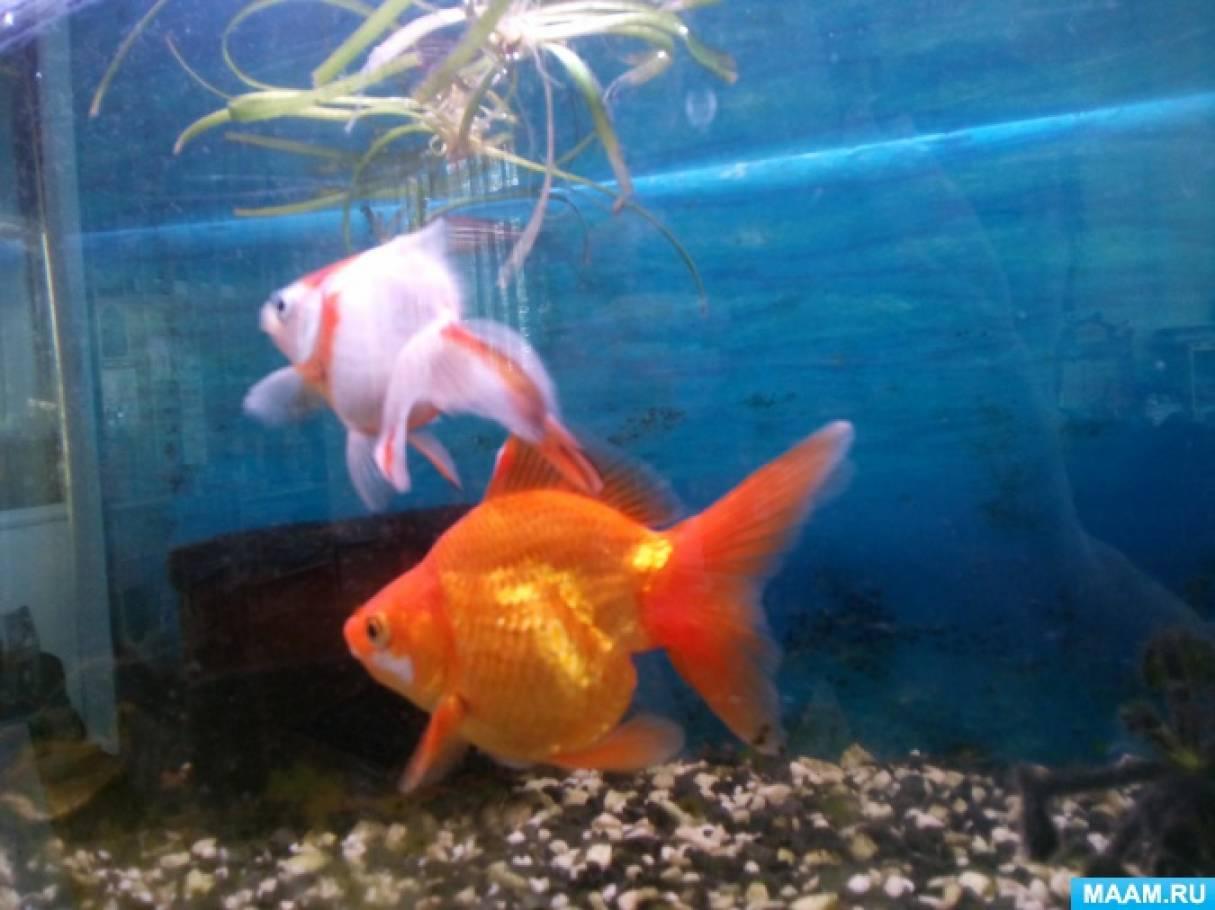 Фотоотчет «Как мы наблюдали за аквариумными рыбками»