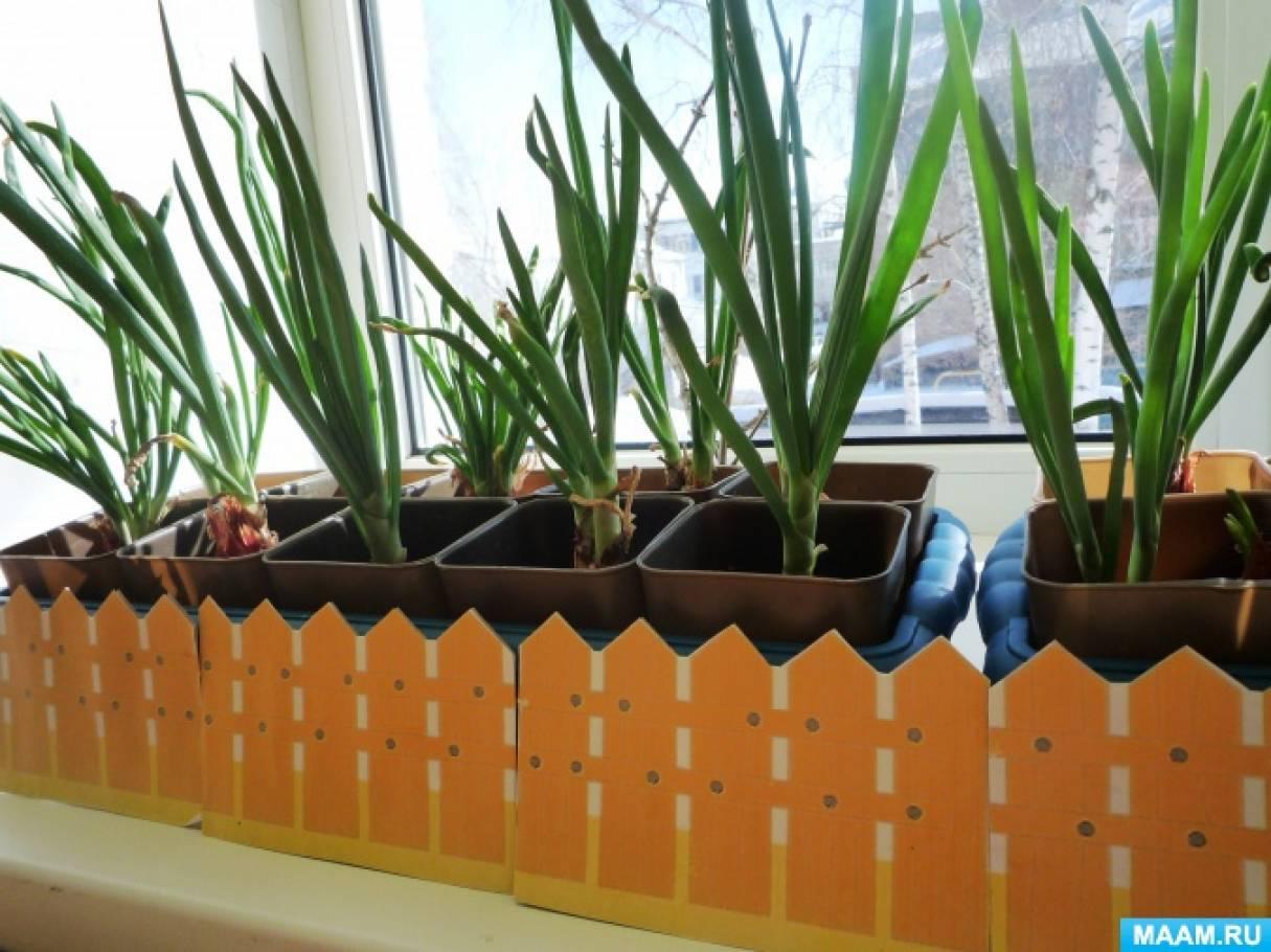 Фотоотчёт «Посадка и выращивание лука на зелень» для старшего дошкольного возраста
