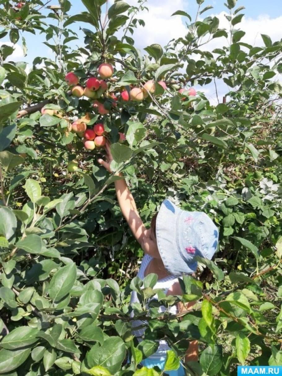 Конспект наблюдения за яблоней с детьми старшего дошкольного возраста