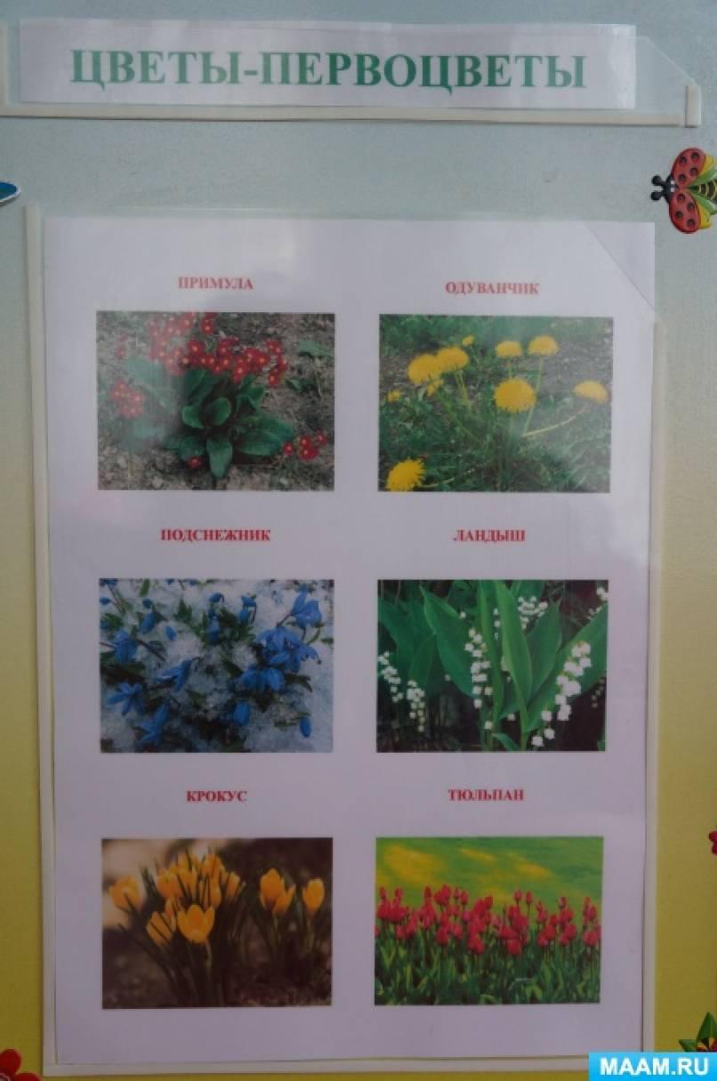 Первоцвет фото и описание для детей