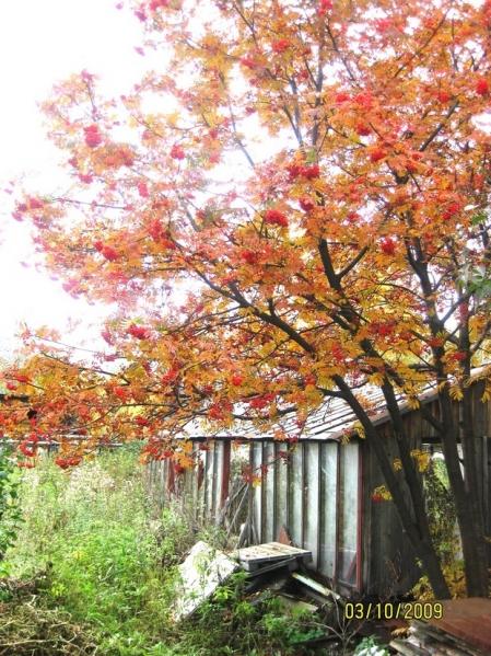Картинки на тему рябина осенью
