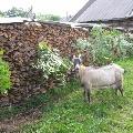 Наша коза Даша
