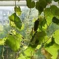 Урожай на окне нашей группы.