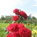 Эти нежные розы!