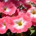 Моё увлечение— выращивания цветов