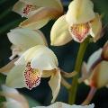 Орхидея и ее легенда