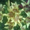 Лилии в моем саду