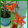 Амариллис— вечно цветущий цветок (мастер-класс по изготовлению цветка из бумаги)