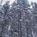 Сказка зимнего леса