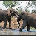 Почему слоны боятся мышей и боятся ли?