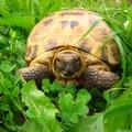 Наблюдение и сравнение живой черепахи и игрушечной